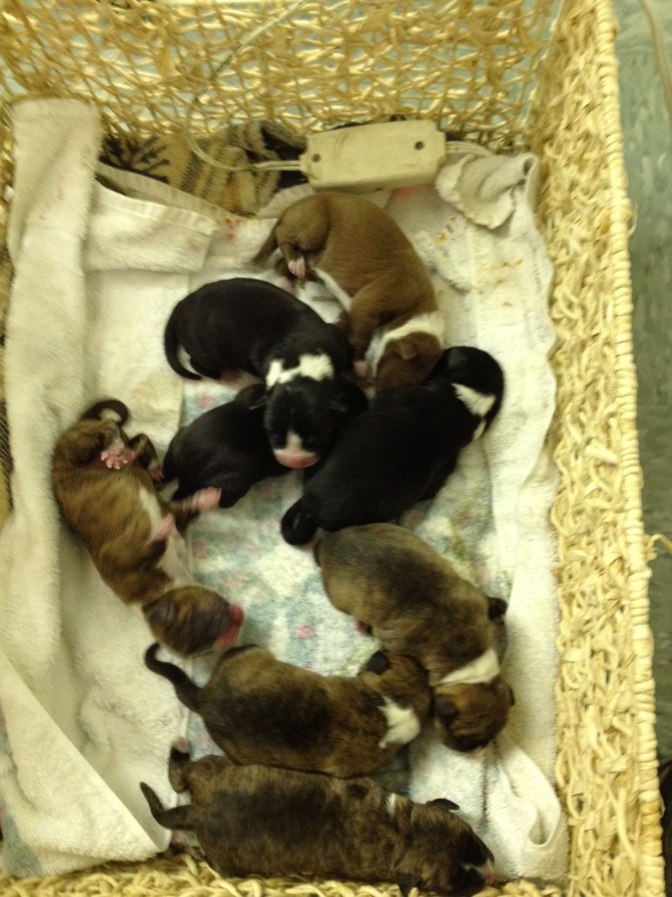 Chocolate Lab Pit And American Bulldog Mix Newborn Puppies 2 27 2012 Newborn Puppies Doxie Puppies Baby Puppies
