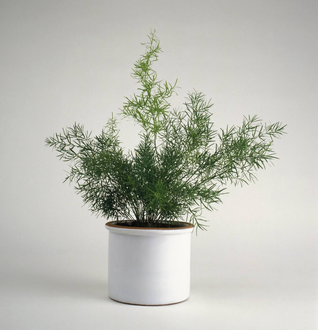 Dress Up Your Bathroom With These Moisture Loving Plants Asparagus Fern Plants White Flowering Plants