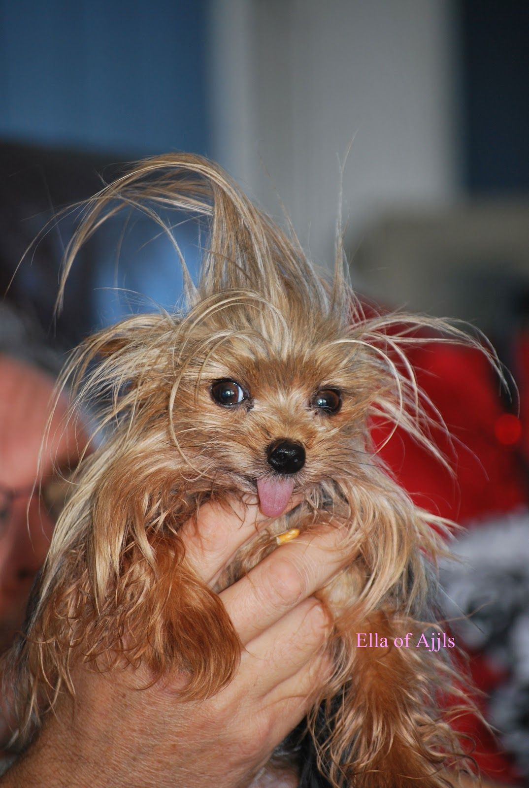 yorkie puppy hair yorkie with crazy hair dogs yorkies perros 5517