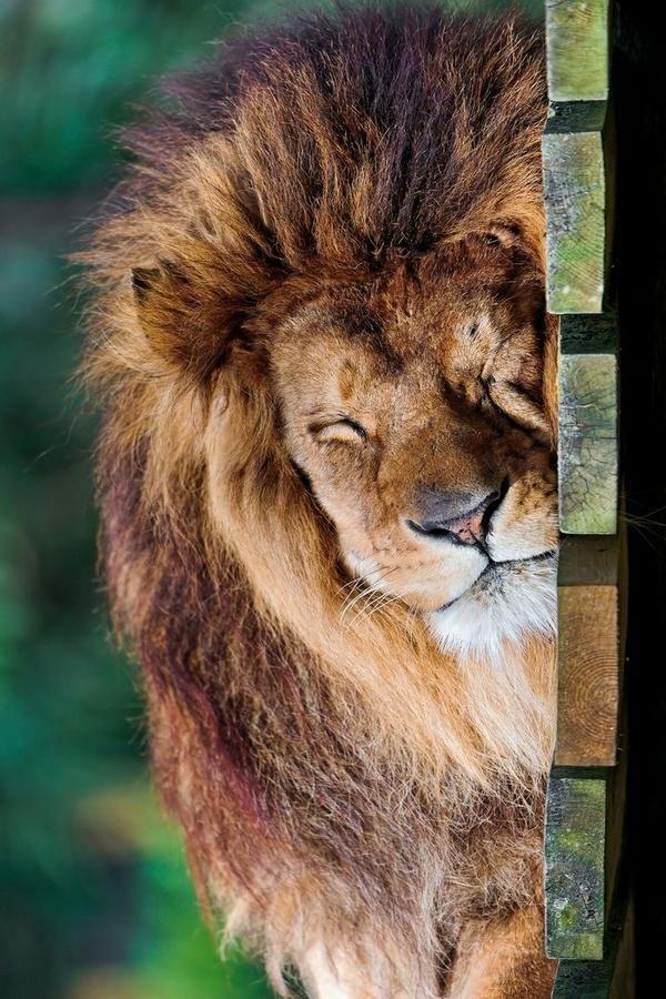 Sleeping Lion (by Tambako the Jaguar) #amazing #beautiful http://ilovefunnyanimal.blogspot.com/