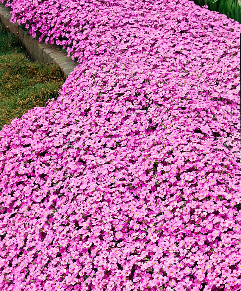 Pink arabis rockcress makes a good perennial groundcover pink arabis rockcress makes a good perennial groundcover pinned by cindy vermeulen please check out my other sexy boards x mightylinksfo