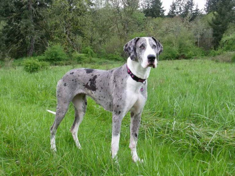 Akc Great Dane Colors Collies Great Dane Colors