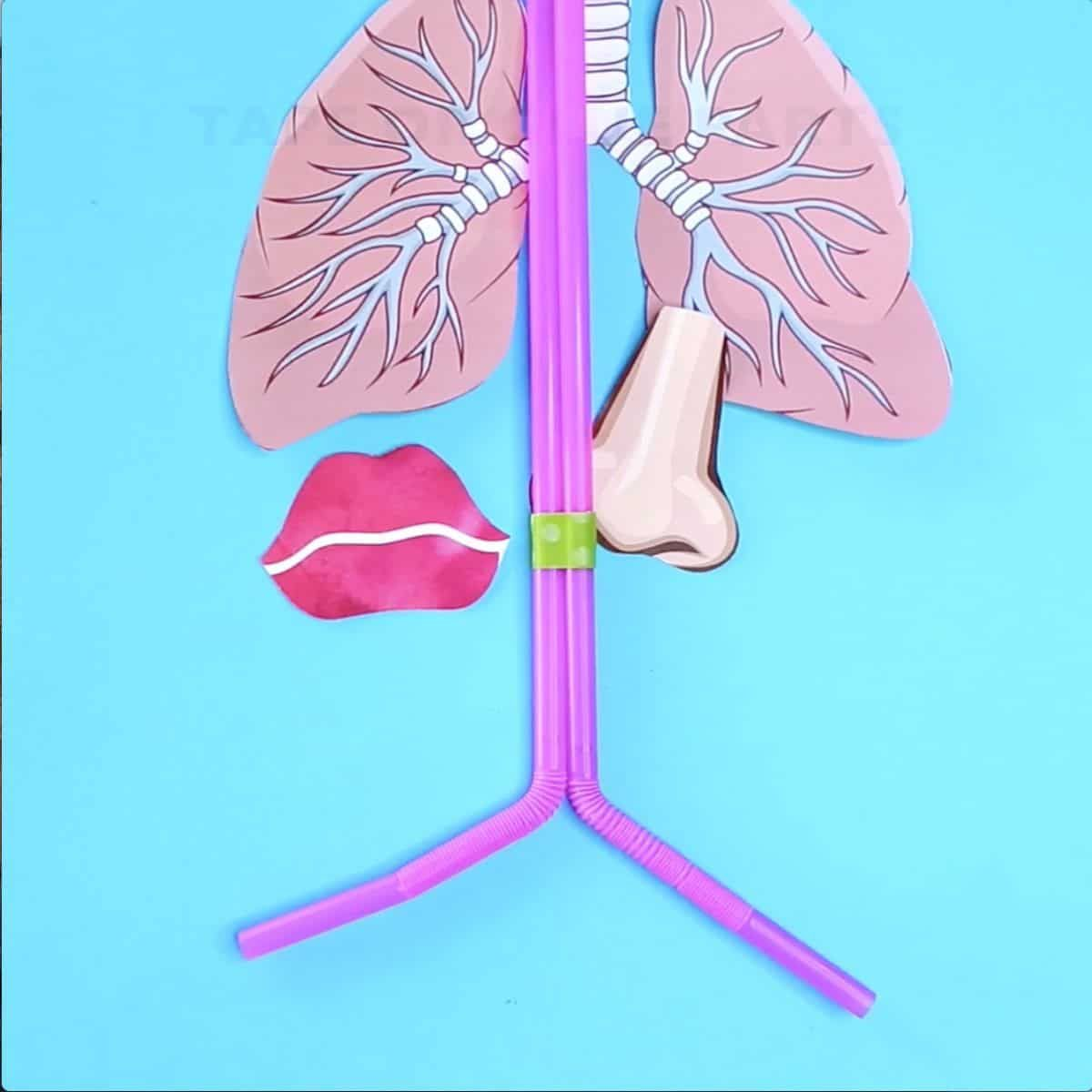 How To Make A Lung Model With Kids Science