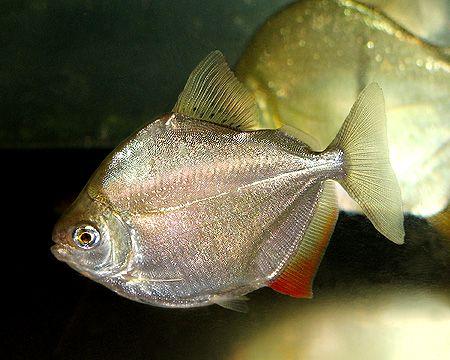 Nature Lover Silver Dollar Fish Fish Tropical Fish Aquarium Freshwater Fish