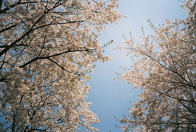 Sakura in Seoul