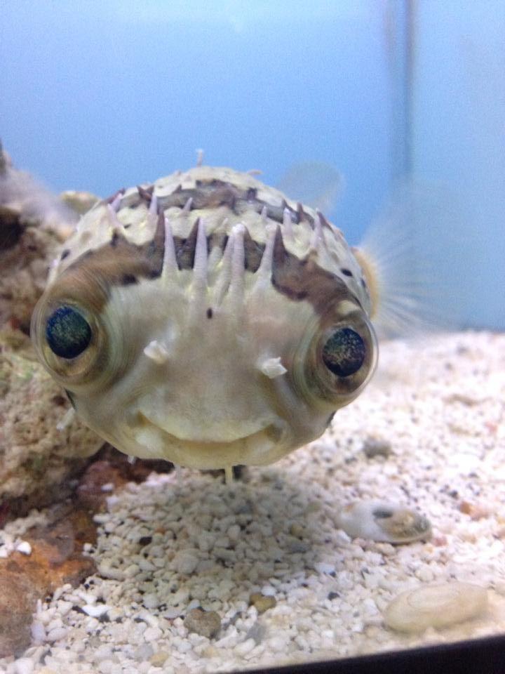 Baby Porcupine Fish