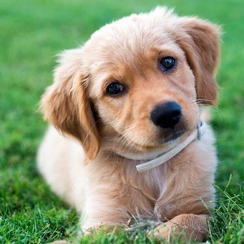 Golden Retriever Dog Breed Information Dog Training Books Dogs