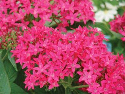 Esp cies de plantas que florescem todo o ano flores - Plantas exterior todo el ano ...