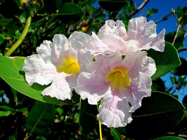 National flower of anguilla is the white cedar caribbean tropical national flower of anguilla is the white cedar mightylinksfo Gallery