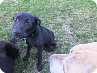 Mantua Nj Labrador Retriever Mix Meet Lobo A Puppy For Adoption Http Www Adoptapet Com Pet 12795787 Mantua N Labrador Retriever Puppy Adoption Labrador