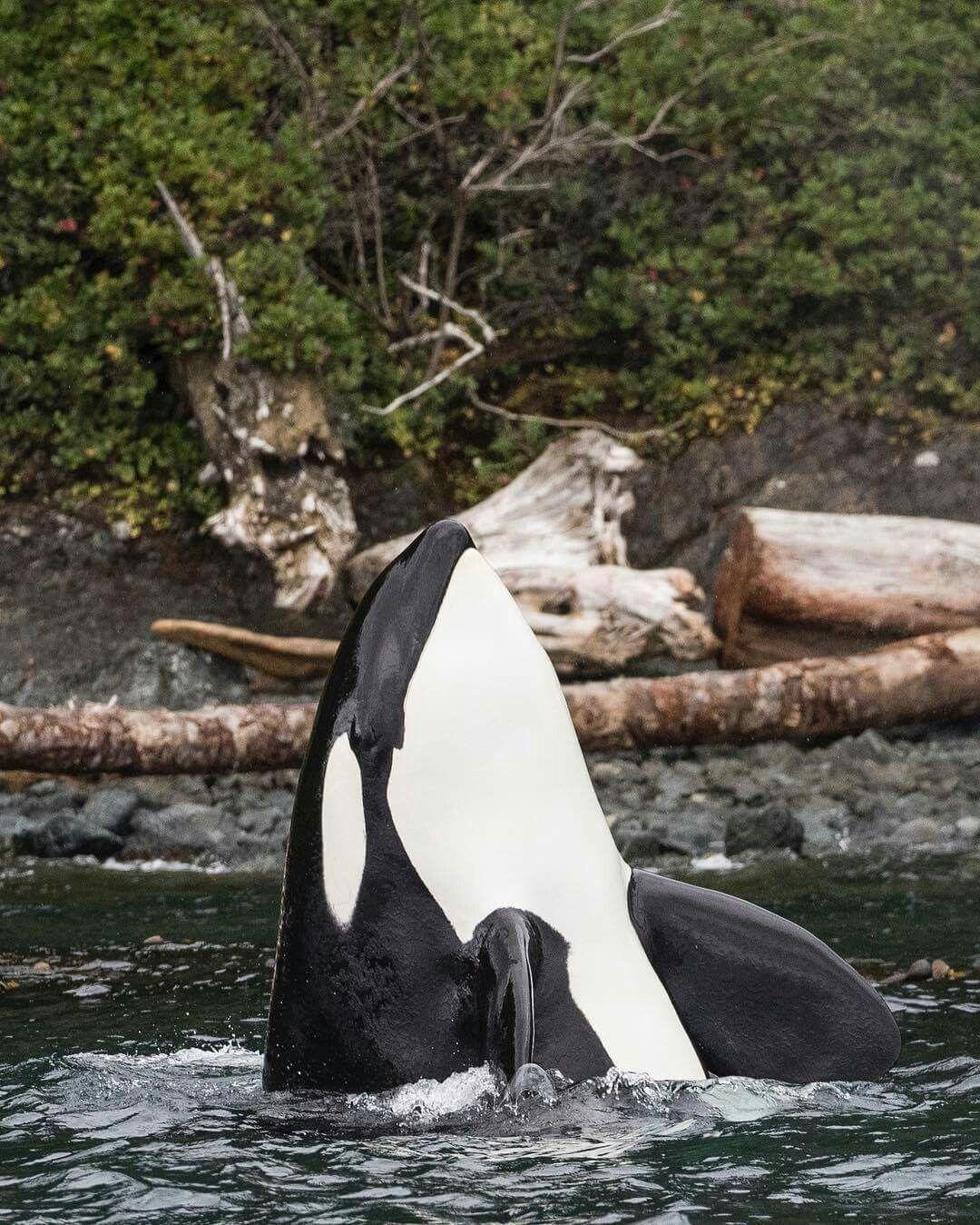 Resultado de imagen de Orcas en los ríos