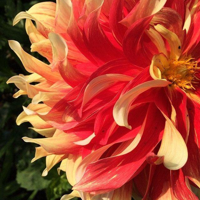 Dahlia 'bodacious' © Stacey Merrill -  Thuya Gardens, Mount Desert Island, Maine. Iphone 5s. This on has me thinking about VanGogh