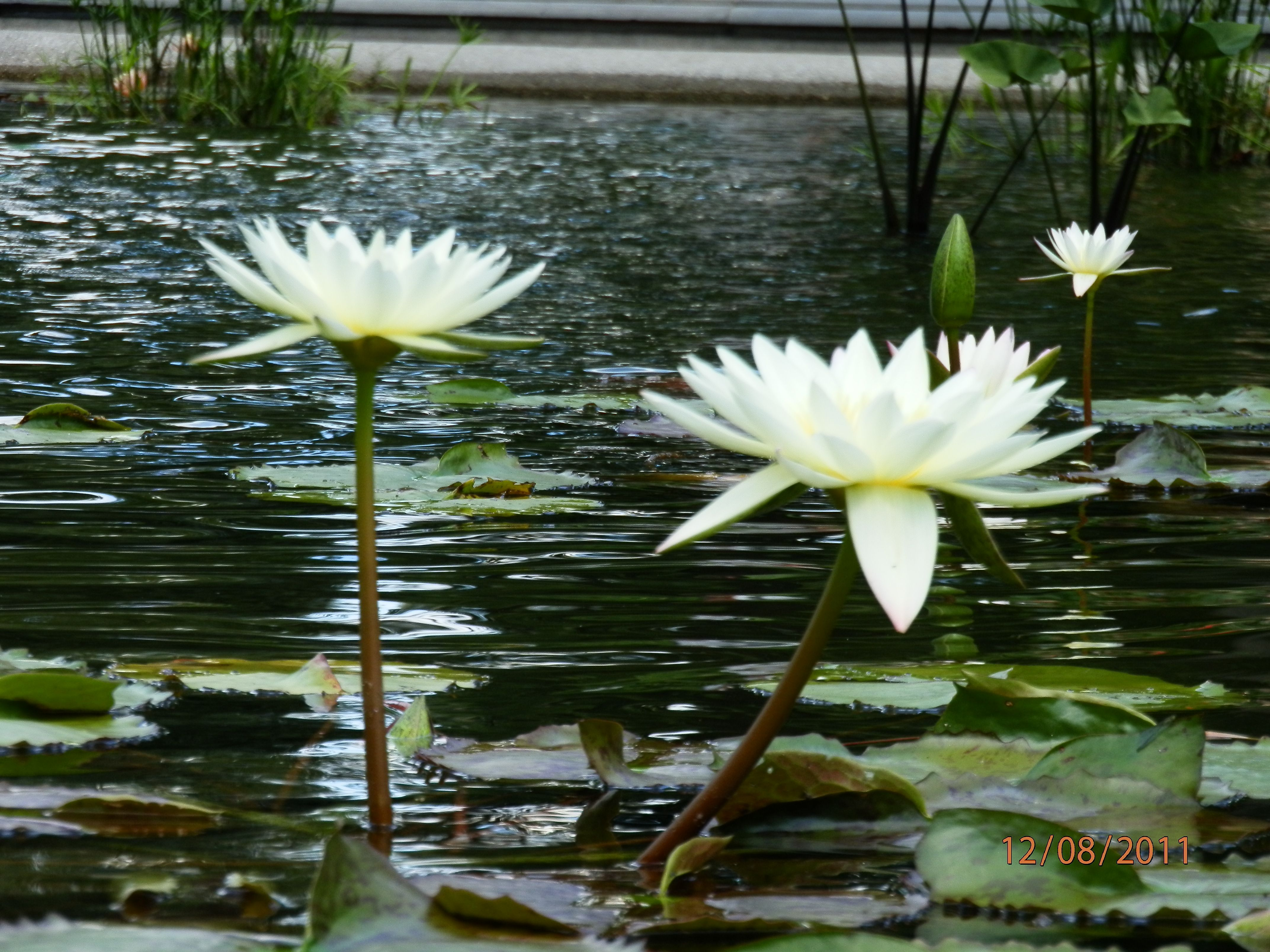 Water lily white prince 2 flowers i love pinterest water water lily white prince 2 izmirmasajfo