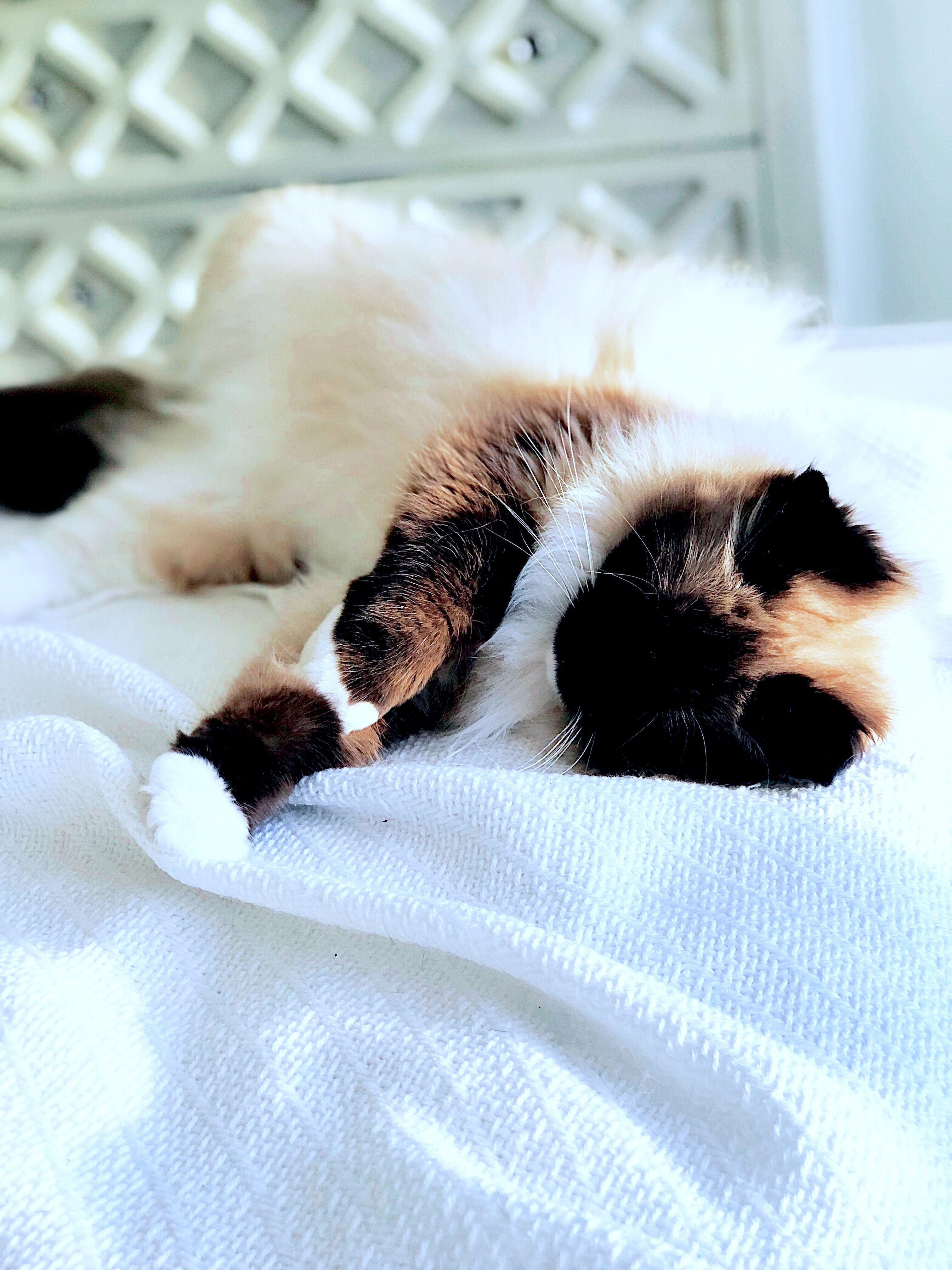 Cute Cats And Kittens Ragdoll Cat With Blue Eyes Cat Photos And