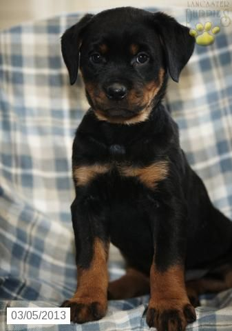 Tiffany Rottweiler Puppy For Sale In Coatsville Pa Rottweiler