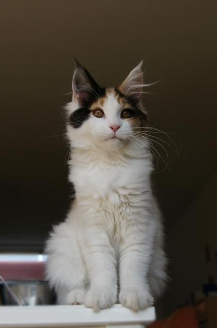 BLACK TORTIE WHITE HARLEQUIN MAINE COON    La Lau's About a Girl - f 02 - dob: 2012-11-25