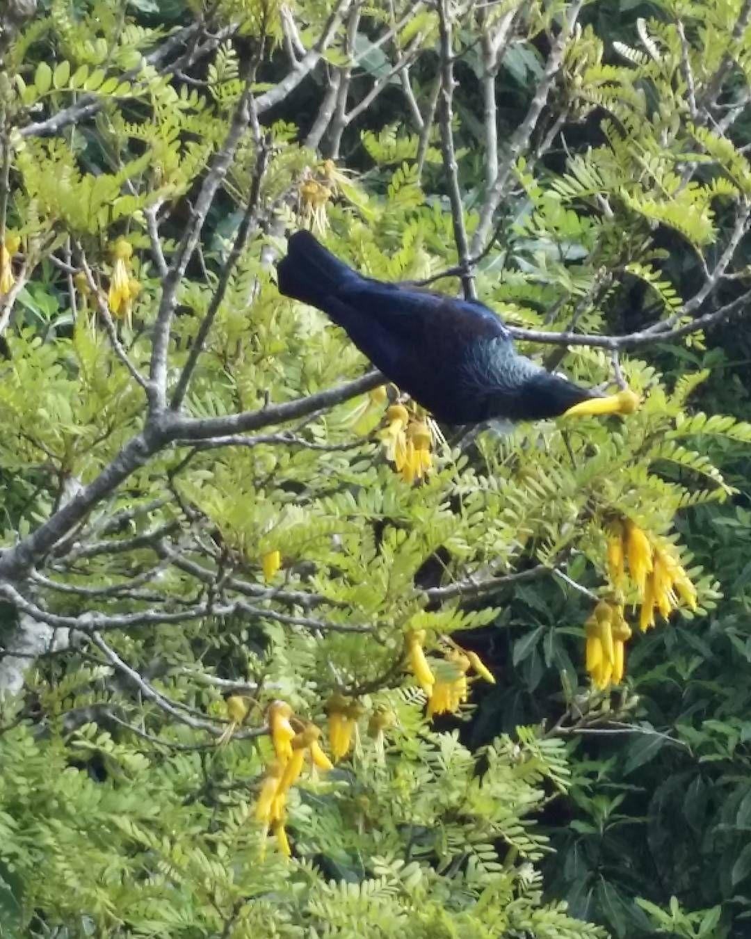 Tui In The Kowhai Tree Enjoying Nectar Spring Flowers Newzealand