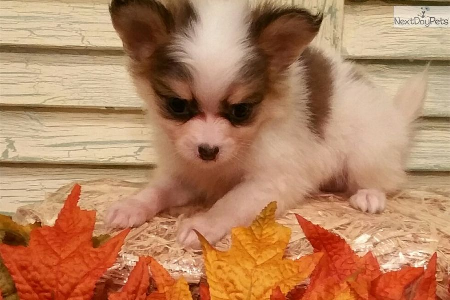 Chihuahua Puppy For Sale Near Houston Texas 3b203656 D321