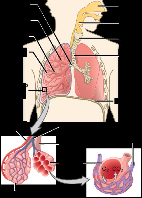 Sistema respiratorio. Imagen: OpenStax CNX - modificada - Licencia ...