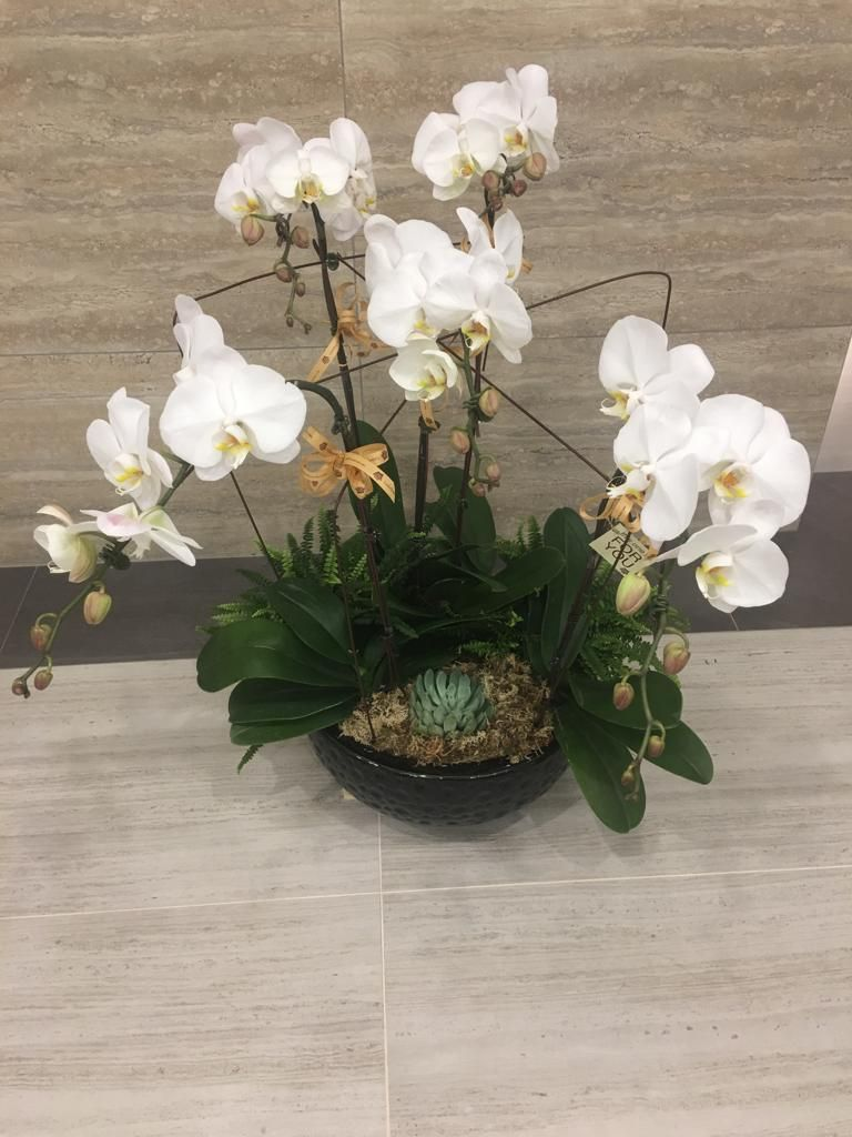 Phalaenopsis Orchid Flower Delivery Orchids Plant Delivery