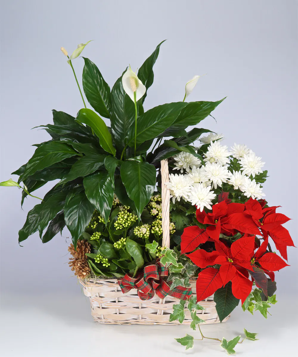 Blooming Poinsettia Basket Poinsettia Plant Same Day Flower Delivery Poinsettia