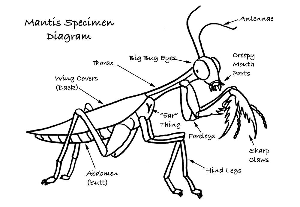 Praying Mantis Diagram Google Search Praying Mantis Diagram Thorax