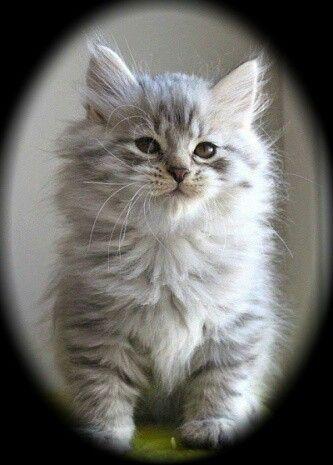 Siberi kassipoeg