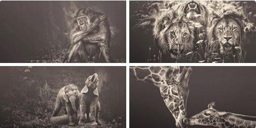 ♪ La fotógrafa Manuela Kulpa intenta captar el alma de los animales y aportar a la protección de estas especies. Realiza sus fotografías en zoos y parques naturales, después retoca las imágenes en un proceso que le lleva meses de trabajo.