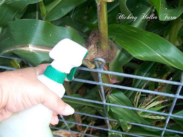 Preventing Corn Ear Worms Ears Of Corn Garden Layout Vegetable Growing Corn