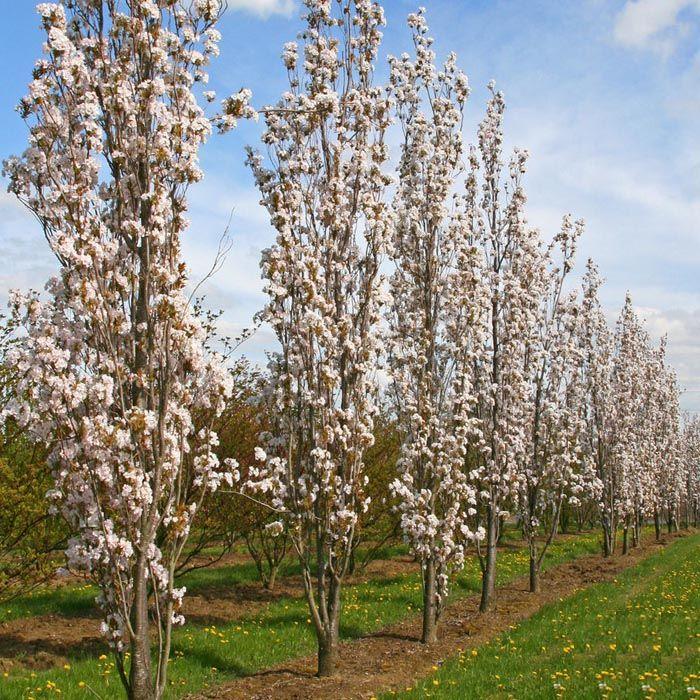 Cherry Blossom Trees On Sale Autumnalis Rosea Variety Cherry Blossom Tree Trees To Plant Front Gardens