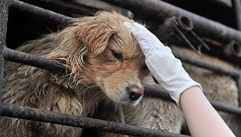 Petition by 15 year old. Choose english language: at top. >>STOP YULIN<< Author : I'm only 15 and can't stand the thought of animals being tortured for their meat. Yulin dog festival happens every year and during it 10,000 dogs are killed, tortured, skinned alive, burned alive, boiled alive, kept in tiny, crammed cages with other dogs all because it apparently makes them taste nicer when the adrenaline rushes through their body caused by torture!!! ONLY 72 SIGNATURES BY 09-19-15…