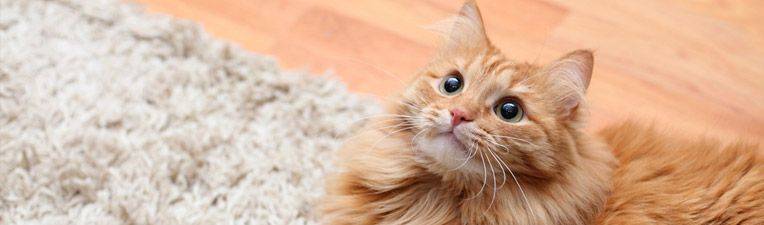 Find out how to get cat smell out of carpet using white