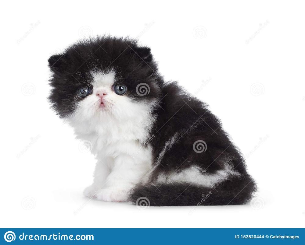 Black And White Persian Kitten On White Persian Cat White White Persian Kittens Persian Kittens