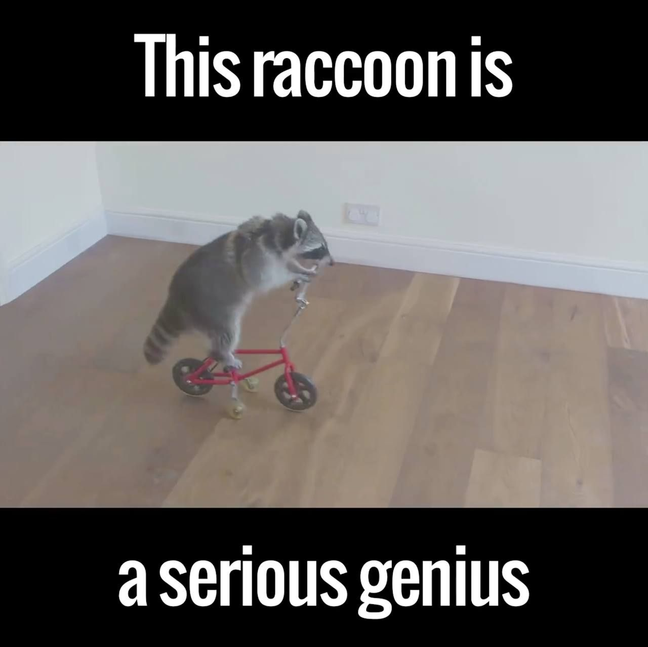 I never knew I wanted a raccoon until now. This guy is a genius