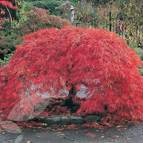 buy cut leaved japanese maple acer palmatum 39 dissectum group 39 delivery by crocus. Black Bedroom Furniture Sets. Home Design Ideas