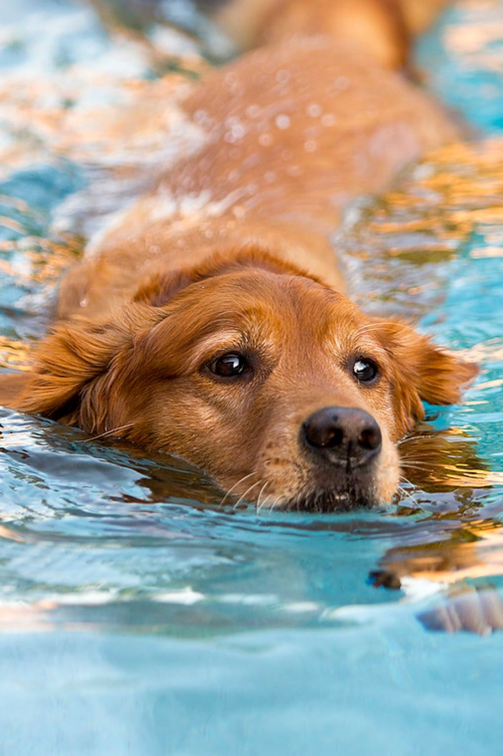 Pool Safety For Dogs Everything You Need To Know This Summer Dog Swimming Golden Retriever Swimming Dog Pool