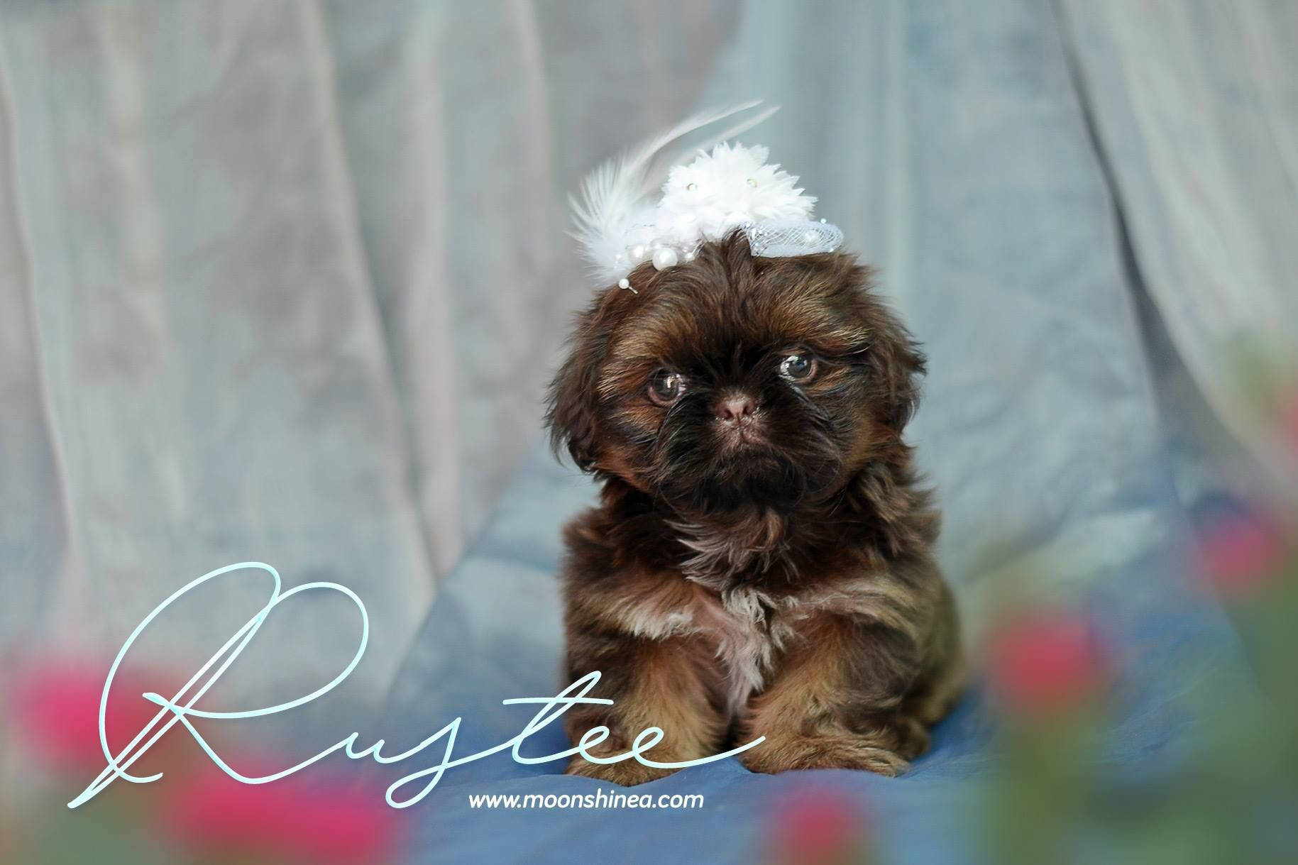 Doll Face Imperial Shih Tzu Philippines Shihtzu Imperial Shih Tzu Shih Tzu Shih Tzu Puppy