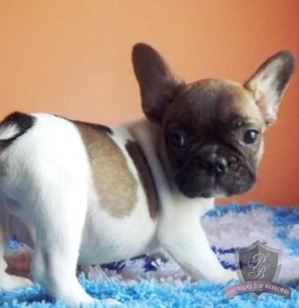 French Bulldog Puppy Spot Cute French Bulldog Baby Dogs Cute Dogs And Puppies