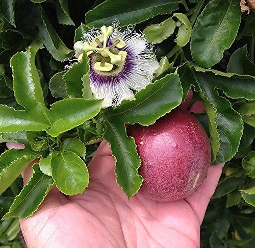 Robot Check Passiflora Passion Fruit Plant Live Plants