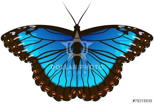 Beautiful Morpho Butterfly