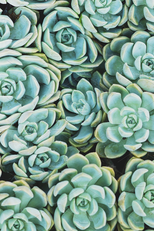 2x Graptoveria Titubans Variegated Rare Succulent Leaf Cuttings Stunning Plants