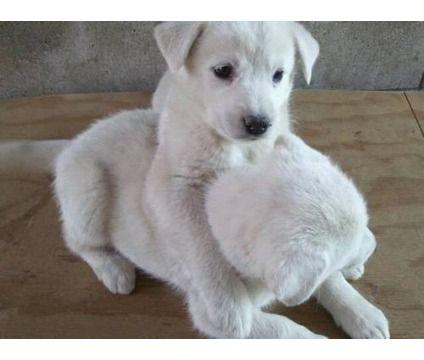 Please Lab Mix Puppies All White Husky White Husky