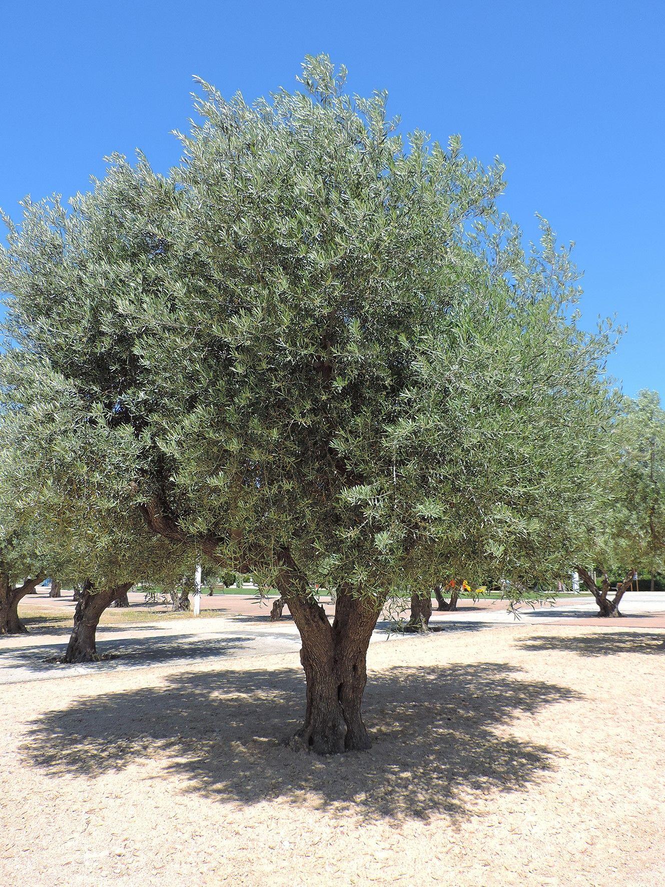 Olivo. http://www.elhogarnatural.com/Frutales%20y%20Frutos.htm | Especies de arboles, Plantación de árboles, Olivo arbol