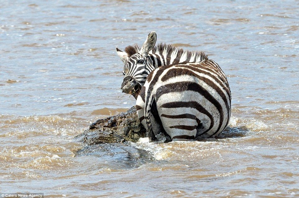 Courageous zebra earns its stripes as it fights off a
