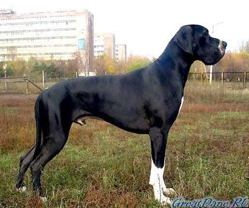 Great Dane Great Dane Dogs Great Dane Mastiff Dane Dog