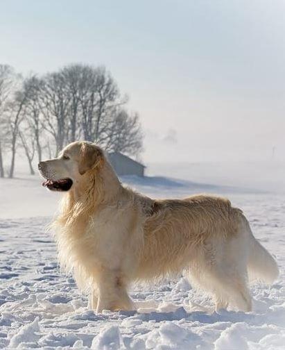 Traumhafter Golden Retriever Im Schnee Tier Fotos Hunde Bekleidung Hundebekleidung