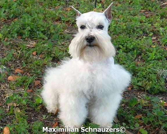 Another Major Cuteness Miniature Schnauzer Puppies Schnauzer Puppy Schnauzer Dogs