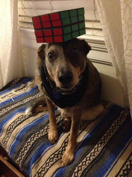 Dog With A Great Sense Of Balance Amazing Picture Korner Pinterest - Owners balances objects on dogs head