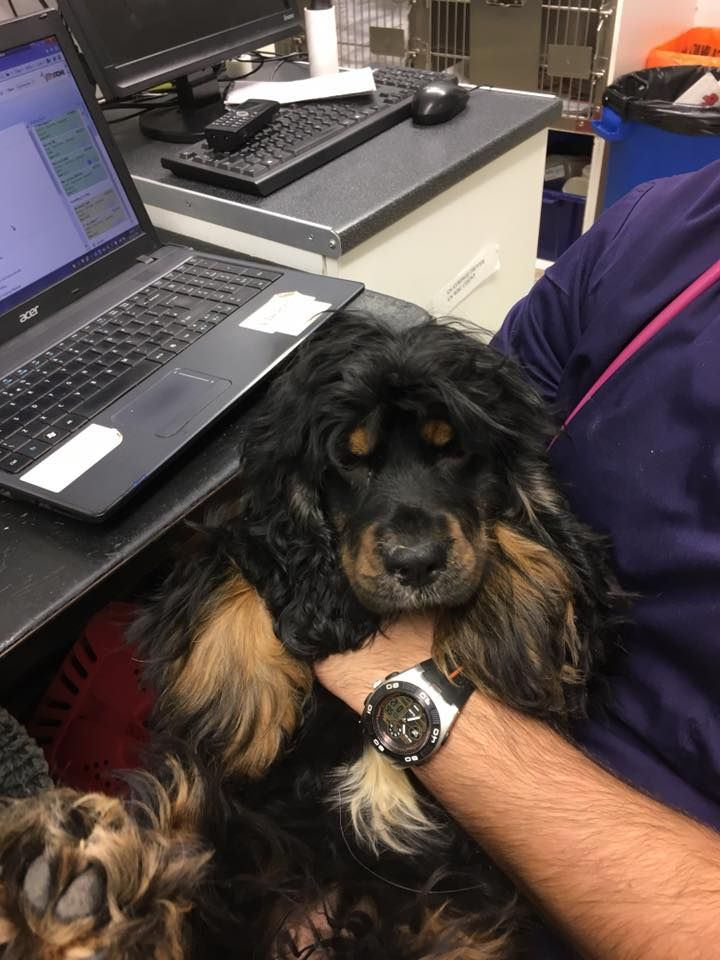 Black And Tan Spaniel Type Dog Butts Road Southampton Dogs Black And Tan Spaniel
