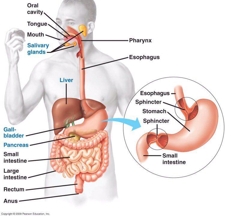 Pharmacist On Twitter Digestive System Diagram Human Digestive System Digestive System Anatomy